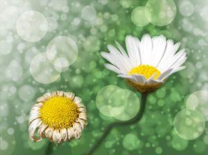 Verwelkte und blühende Blume - Green Events / nachhaltige Veranstaltungen, Foto: lucky2013/pixabay